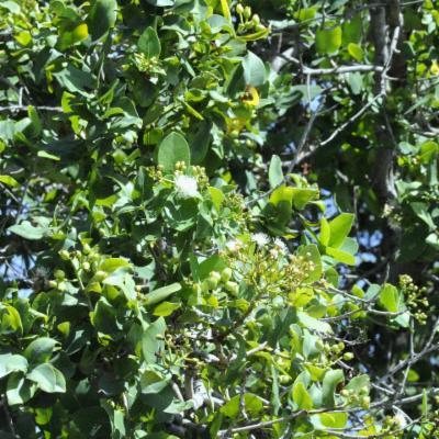 Syzygium guineense
