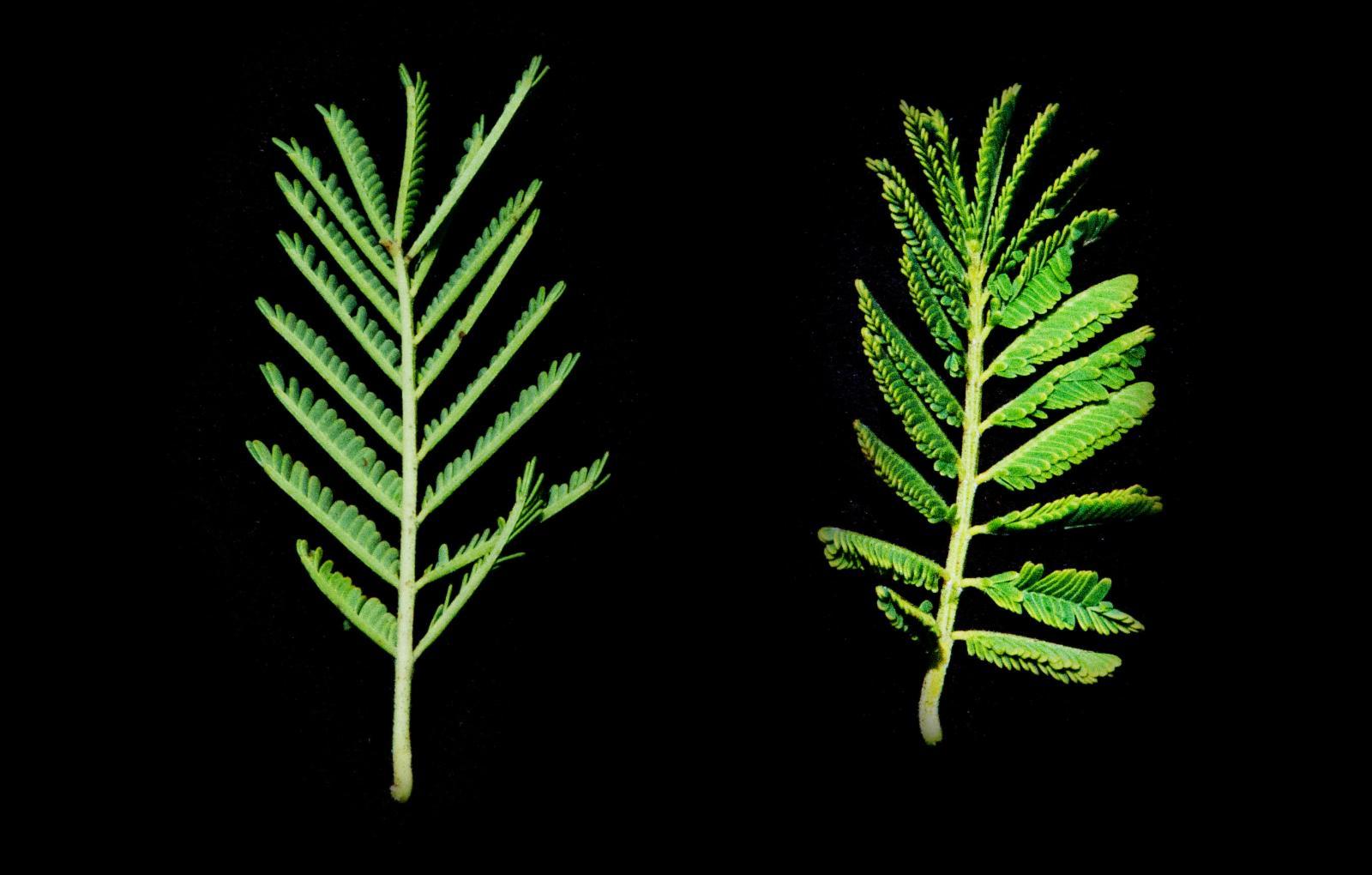 Vachellia Karroo Hayne Banfi Galasso Plants Of The World