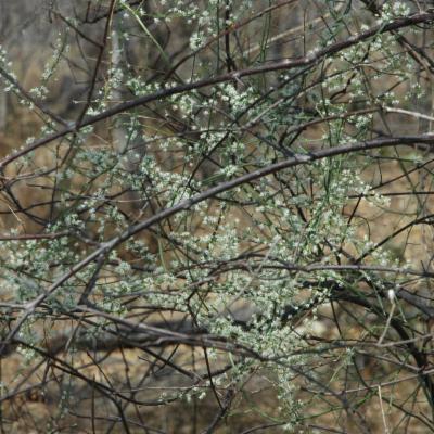 Asparagus sp.