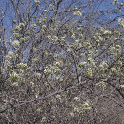 Combretum sp.