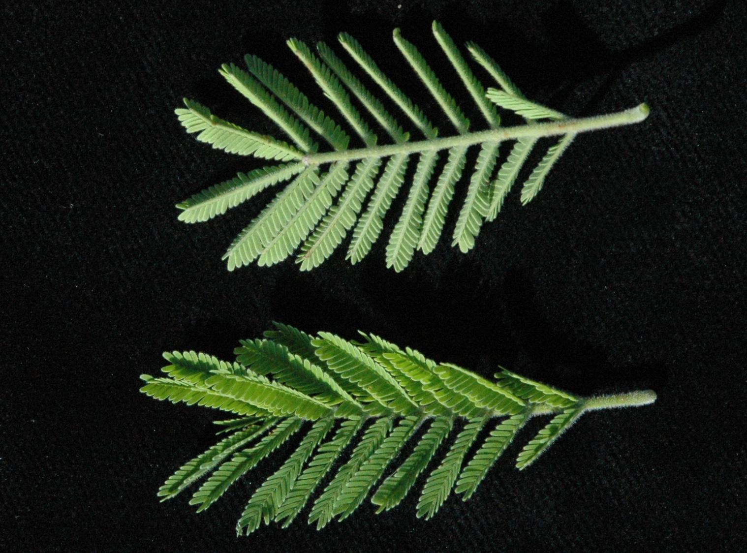 Acacia Mill Plants Of The World Online Kew Science