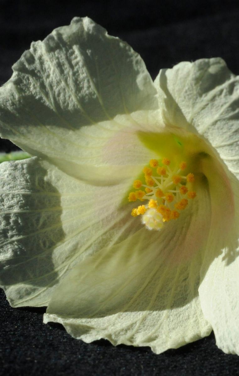 Hibiscus vitifolius l plants of the world online kew science images izmirmasajfo