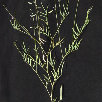 Fabaceae