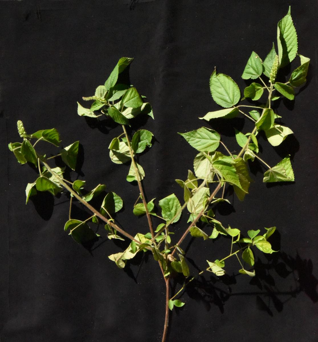 Acalypha L Plants Of The World Online Kew Science