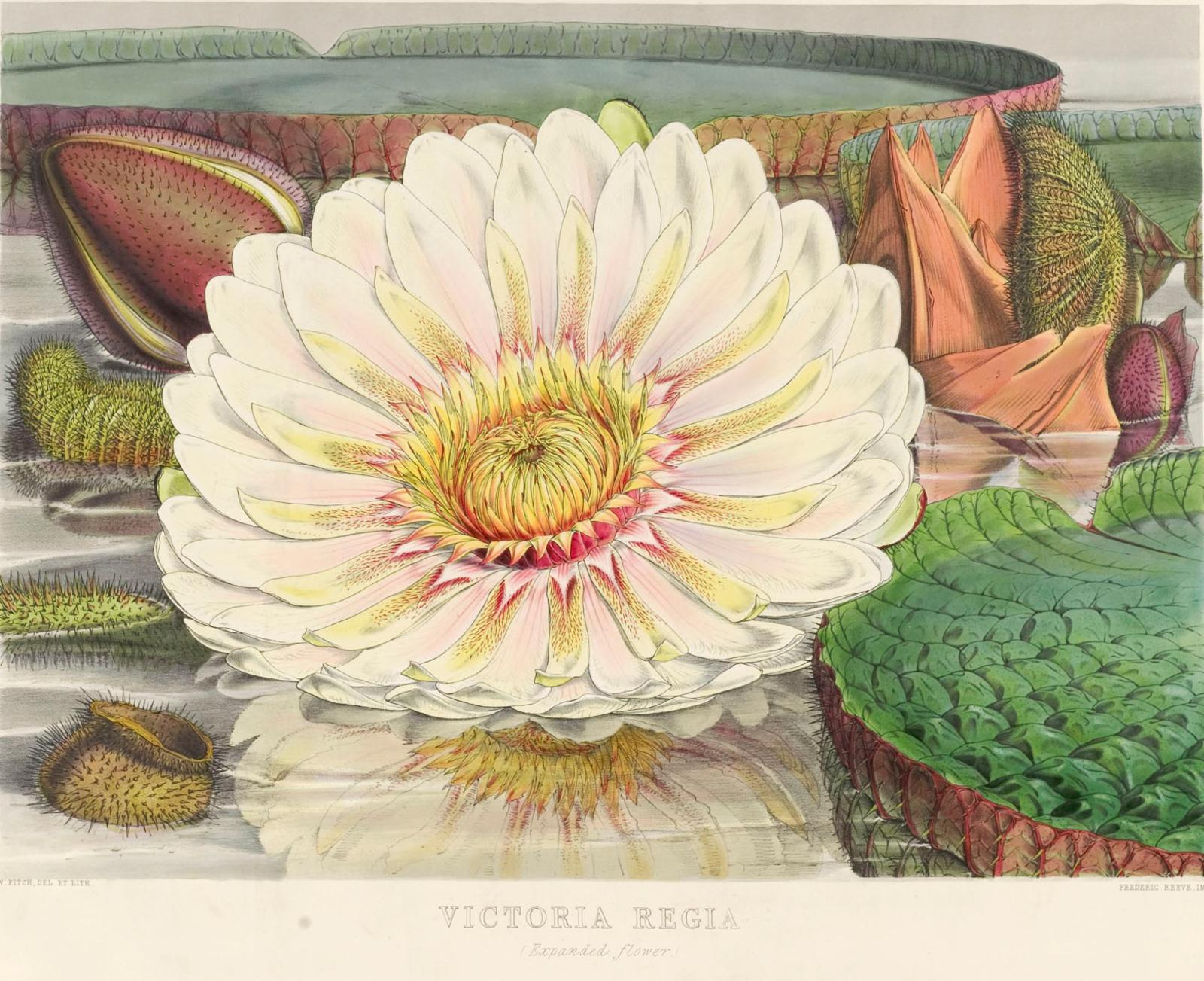 Victoria Amazonica Poepp Klotzsch Plants Of The World Online
