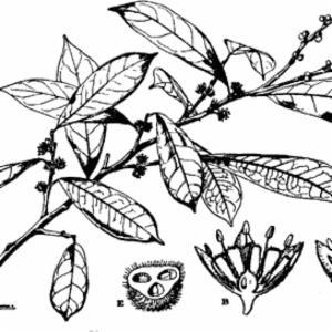 OCTOLEPSIS DECALEPIS Gilg (THYMELAECEAE)