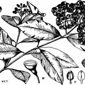 SYZYGIUM GUINEENSE (Willd.) DC. var. GUINEENSE (MYRTACEAE)