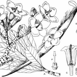 ADENIUM OBESUM (Forsk.) Roem. & Schult. (APOCYNACEAE)
