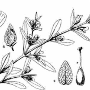 BACOPA CRENATA (P. Beauv.) Hepper (SCROPHULARIACEAE)