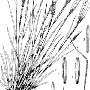 HETEROPOGON CONTORTUS (Linn.) P. Beauv. ex Roem. & Schult. (GRAMINEAE-ANDROPOGONEAE)