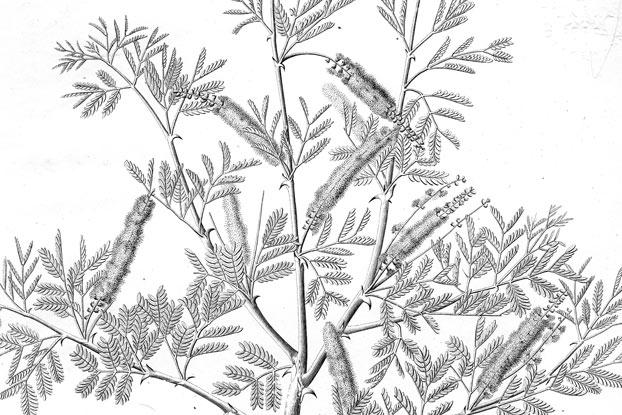Senegalia Senegal L Britton Plants Of The World Online Kew