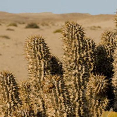 Hoodia Gordonii Masson Sweet Ex Decne Plants Of The World