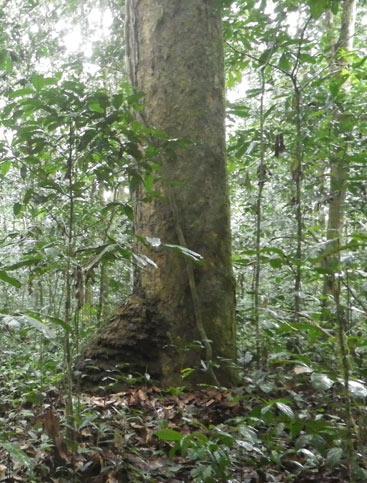 Gilbertiodendron_dewevrei_forest_MED_web