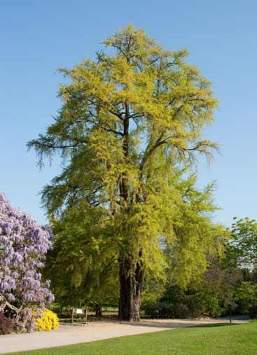 Ginkgo Biloba L Plants Of The World Online Kew Science