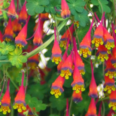 Tropaeolum tricolor Sweet | Plants of the World Online ...
