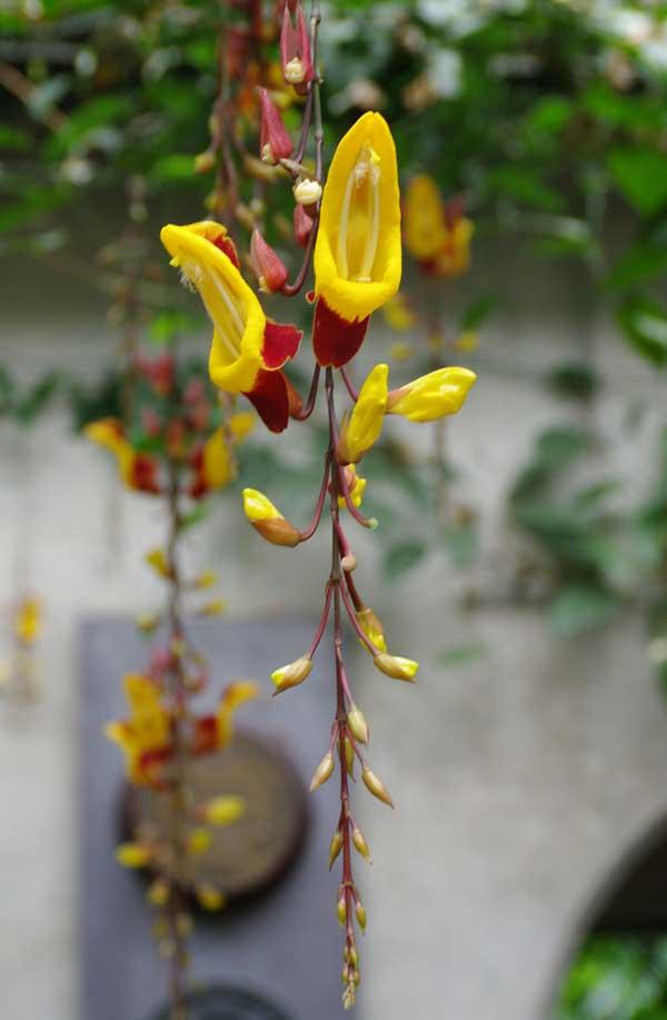Thunbergia mysorensis (Wight) T.Anderson | Plants of the ...