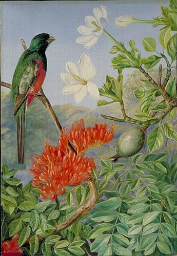 Gardenia Thunbergia Thunb Plants Of The World Online