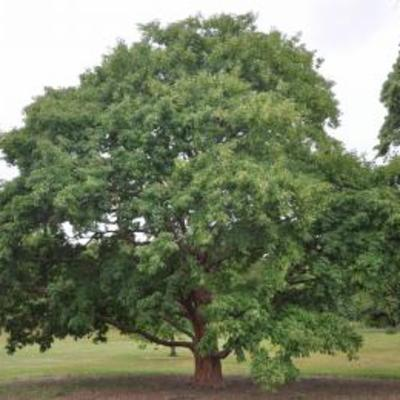 Acer L Plants Of The World Online Kew Science