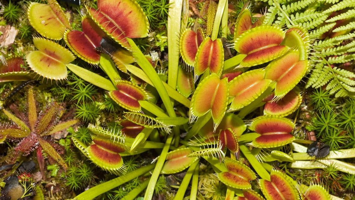 Dionaea muscipula J.Ellis | Plants of the World Online | Kew Science
