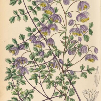 Thalictrum delavayi Franch. | Plants of the World Online ...