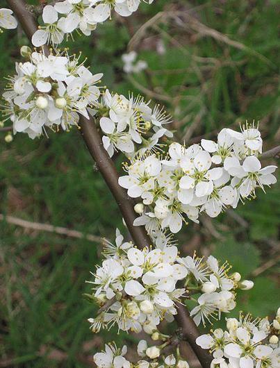 Prunus Spinosa L Plants Of The World Online Kew Science