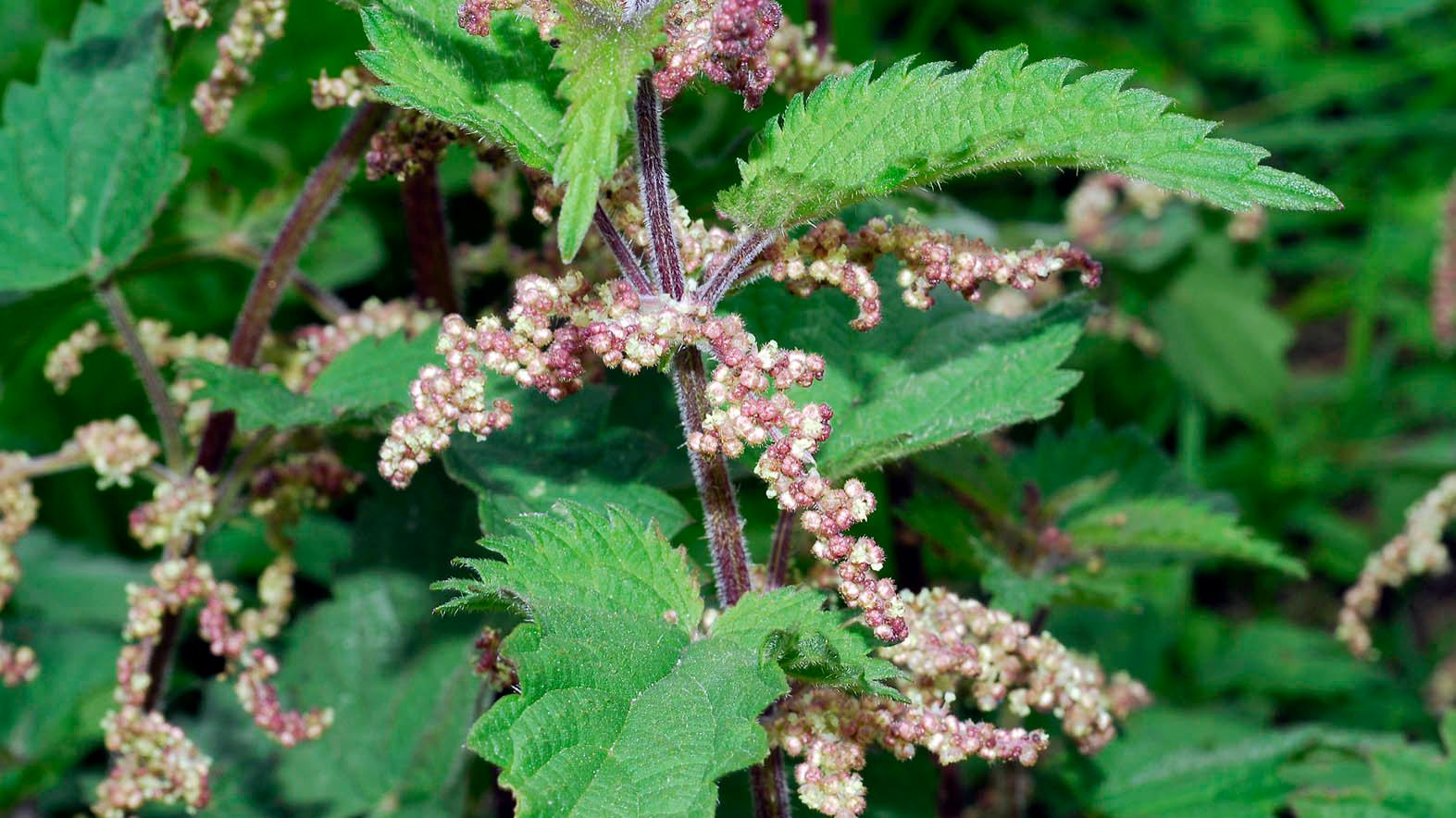 Urn Urtica Dioica L Plants Of The World Online Kew Science