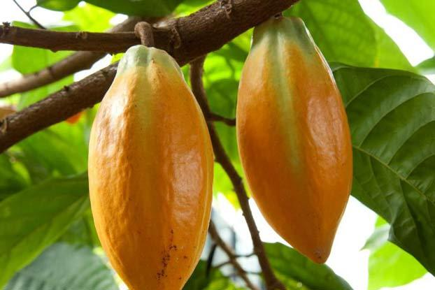 theobroma cacao l plants of the world online kew science