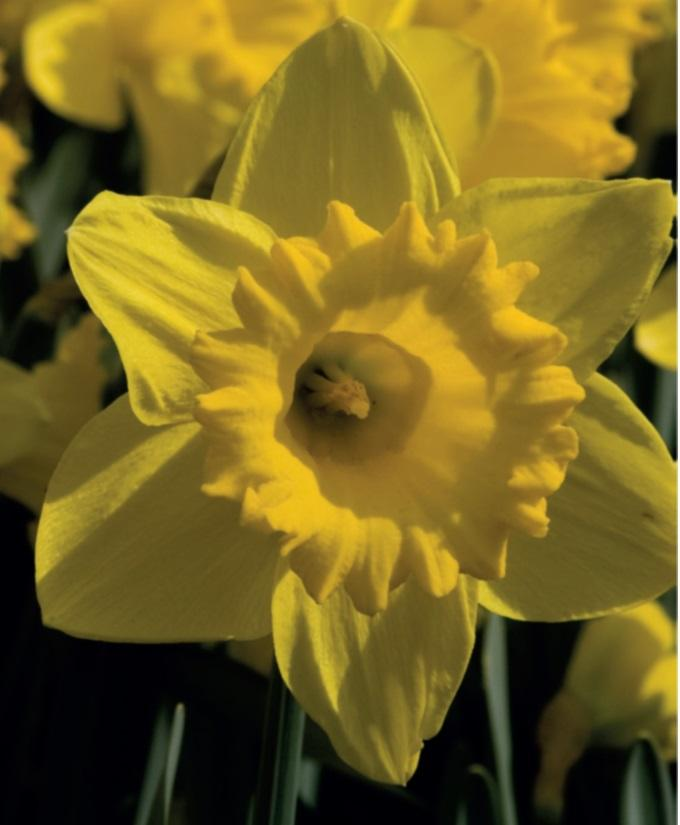 Narcissus Pseudonarcissus L Plants Of The World Online