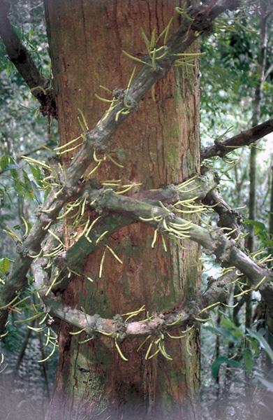 Gnetum L  | Plants of the World Online | Kew Science