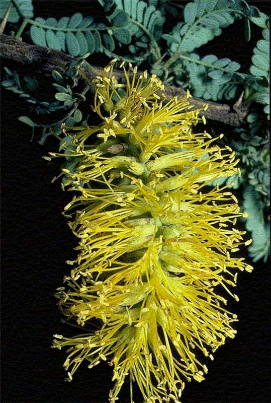 Prosopis L. | Plants of the World Online | Kew Science