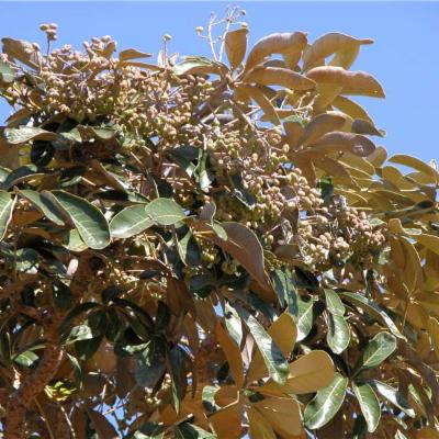 Schefflera J R Forst  & G Forst  | Plants of the World