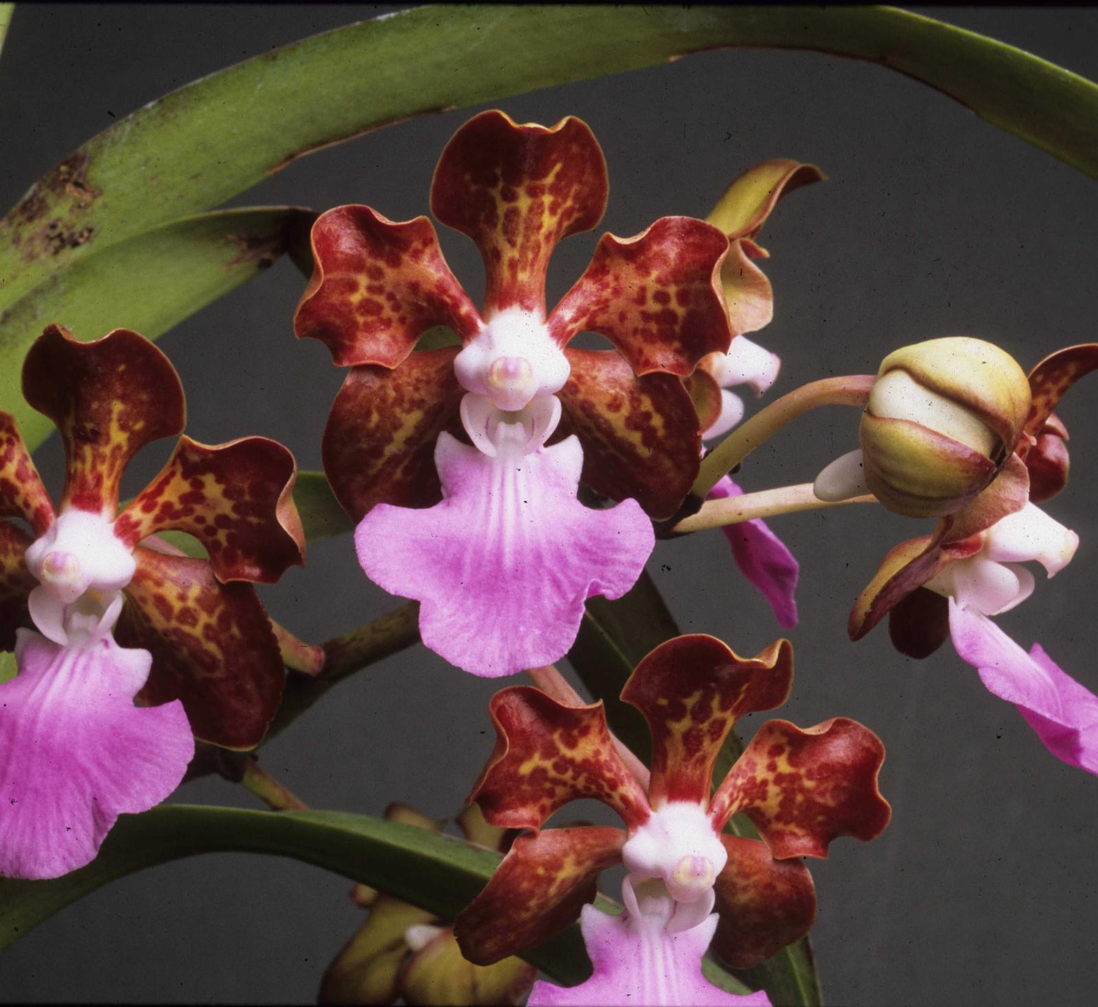 Vanda Insignis Blume Plants Of The World Online Kew Science Limbata Images