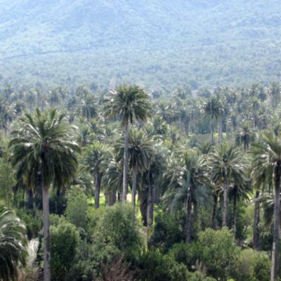 Arecaceae; Jubaea chilensis