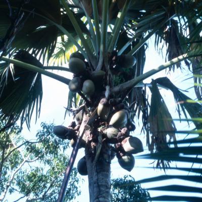 Arecaceae; Lodoicea maldivica