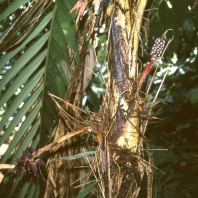 Arecaceae; Nenga gajah