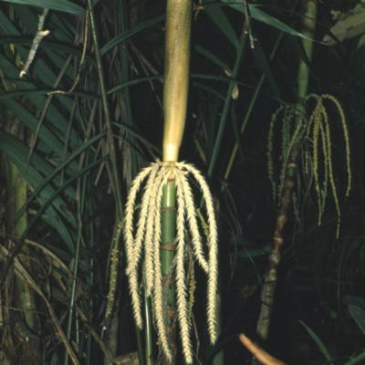 Arecaceae; Nenga pumila var. pumila