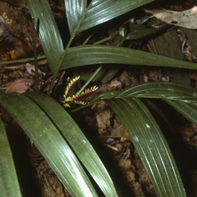 Arecaceae; Areca ahmadii
