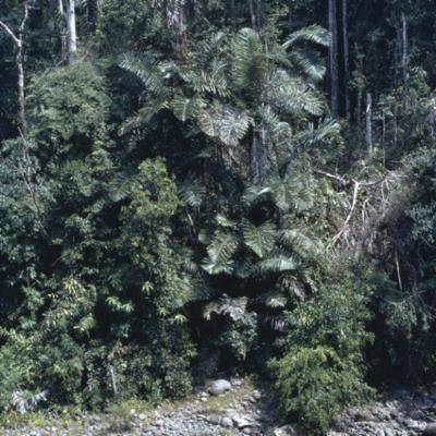 Arecaceae; Arenga obtusifolia