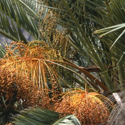 Arecaceae; Phoenix canariensis
