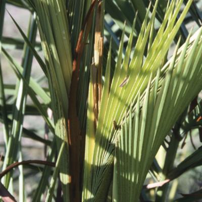Arecaceae; Phoenix canariensis; HAUT