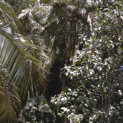 Arecaceae; Phoenix reclinata