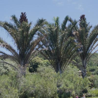 Arecaceae; Raphia australis