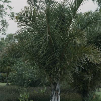 Arecaceae; Raphia farinifera