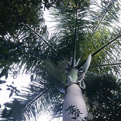 Arecaceae; Roystonea regia
