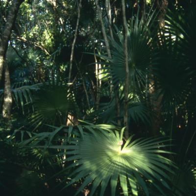 Arecaceae; Thrinax radiata