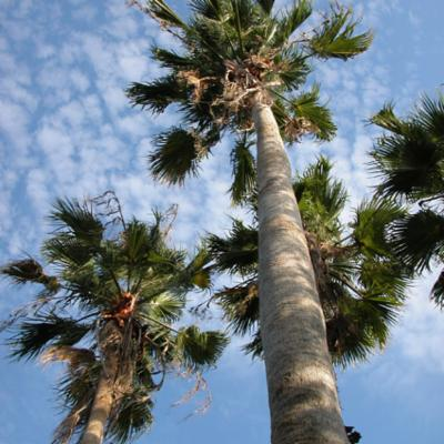 Arecaceae; Washingtonia robusta