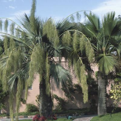 Arecaceae; Brahea armata