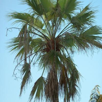 Arecaceae; Brahea brandegeei
