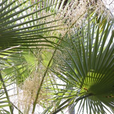 Arecaceae; Brahea dulcis
