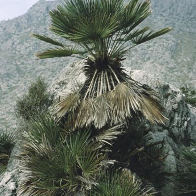 Arecaceae; Chamaerops humilis